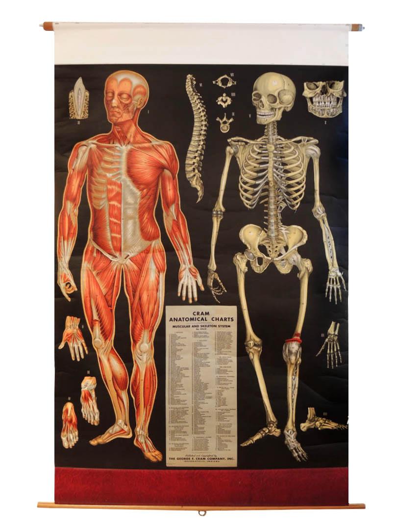 Human Anatomy Vintage Vintage Cram Human Anatomy